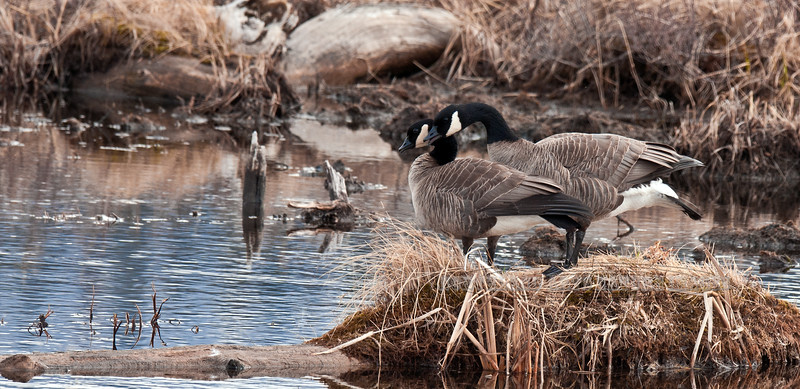 Goose, Canada, lesser sp's 2011.4.26#049. A courting pair in spring. Potter Marsh, Anchorage Alaska.