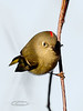 Kinglet, Ruby-crowned 2012.11.17#089. Highgate Circle, Anchorage Alaska.