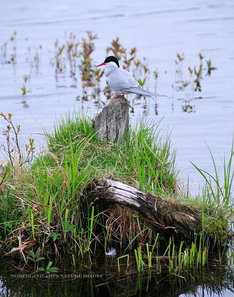 Tern, Arctic 2008.5.30#048. Potter Marsh, south of Anchorage Alaska.
