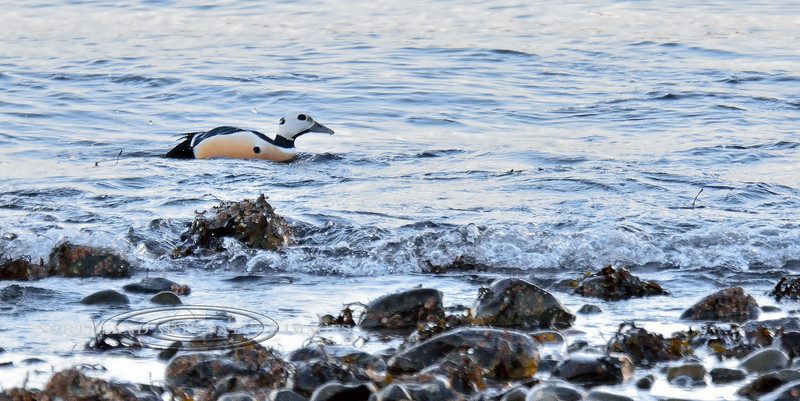 Eider, Steller's 2015.3.9#503. The smallest of all Eider's. Also a threatened species that has been closed to all hunting in North America for some time now. Resurrection Bay, Sewarrd Alaska. A bird we get very few opportunity's to photograph, so not a fine image as I shot with extremely high ISO in very dark conditions before the sun came up.