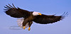 Eagle, Bald 2009.3.7#176. Our National bird. Homer Alaska.