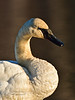 Swan, Trumpeter 2014.4.13#031. Spenard Crossing, Anchorage Alaska.