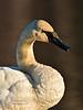 Swan, Trumpeter 2014.4.13#031. Spenard Crossing, Anchorage Alaska.