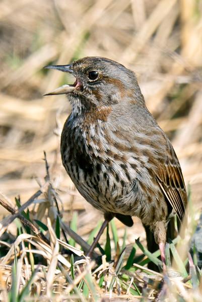 Sparrow, Kenai Song 2014.4.21#318. Homer Spit, Alaska.