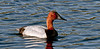 Canvasback Duck. Potter Marsh,Anchorage,Alaska. #511.222. 1x2 ratio format.
