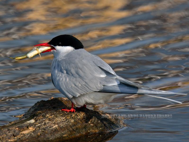 Tern, Arctic 2014.5.7#030. Potter Marsh, Anchorage Alaska.