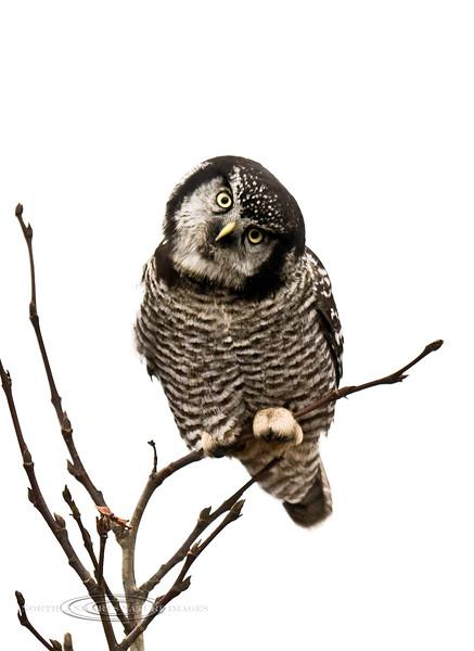 Owl, Northern Hawk 2008.9.19#047. Mile ten, Denali Park Alaska.
