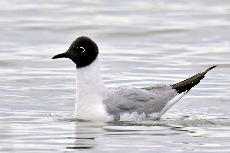 Gull, Bonaparte's 2013.5.26#256. Cook Inlet adjacent to Westchester Lagoon, Anchorage Alaska.