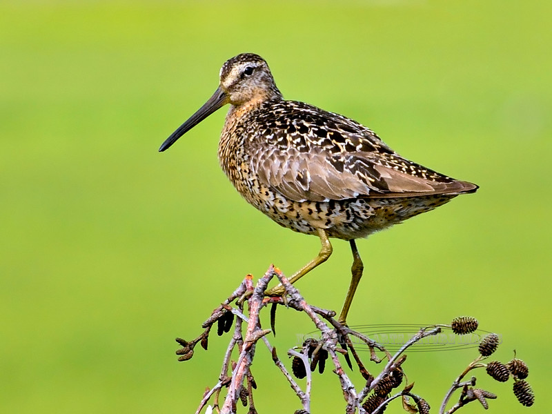 Dowitcher, Short-billed 2014.6.15#114. Near a nesting area. Cook Inlet near Potter Marsh Alaska.