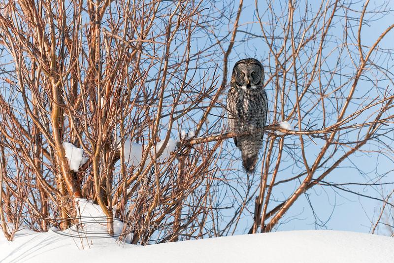 Owl, Great Gray 2012.3.6#041. Anchorage, Alaska.
