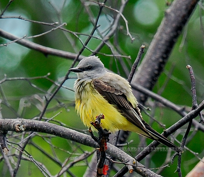 ACCIDENTAL-Kingbird, Western 2012.6.14#081.8. When I discovered this rare in Alaska bird it was dark and raining. In spite of that I shot over 100 poor images it case it wouldn't clear and dry up. Westchester Lagoon, near the railroad tracks, Anchorage Alaska.