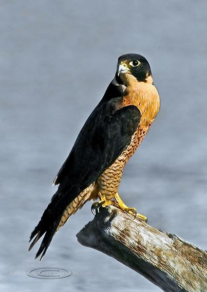 Falcon, Peregrine 2006.5.22#0114. Cook Inlet near Potter Marsh, Alaska.