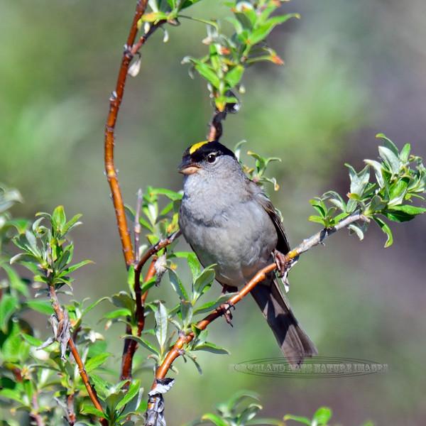Sparrow, Golden-Crowned 2015.6.22#467. Teller Road, Seward Peninsula Alaska.