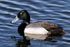 A drake Greater Scaup in nuptial plumage. South Central Alaska. #528.165. 2x3 ratio format.