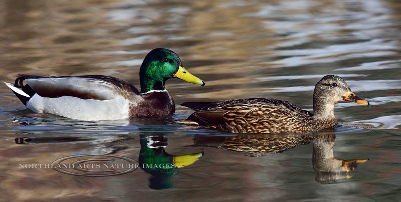 Mallard Duck 2016.2.26#013. Spenard Crossing, Anchorage Alaska.
