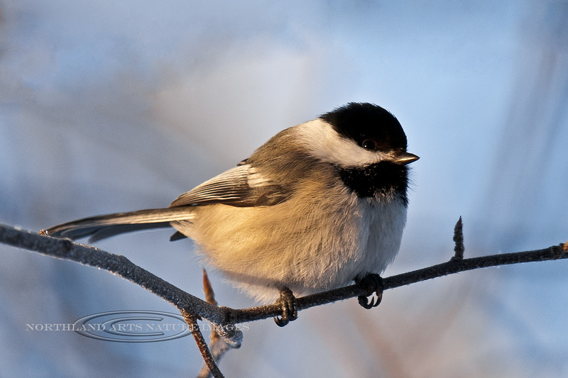 Chickadee, Black-capped 2012.1.9#184. Anchorage Alaska.