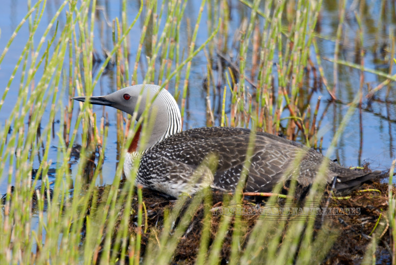 Loon, Red-throated 2015.6.24#1493. Svanberg Dredge pond, Nome Alaska.