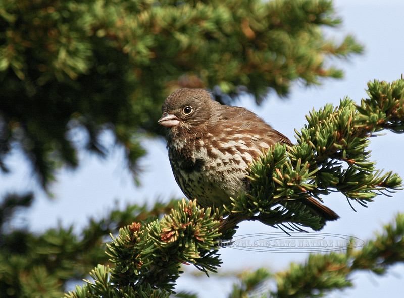 Sparrow, Sooty Fox 2009.7.11#321. Turnagain Pass, Kenai Mountains  Alaska.