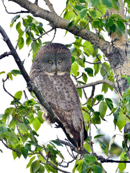 Owl, Great Gray 2015.6.7#046. Tolsona, Nelchina Basin Alaska.