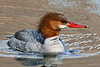 Merganser, Common 2014.4.22#831. Spenard Crossing, Anchorage Alaska.