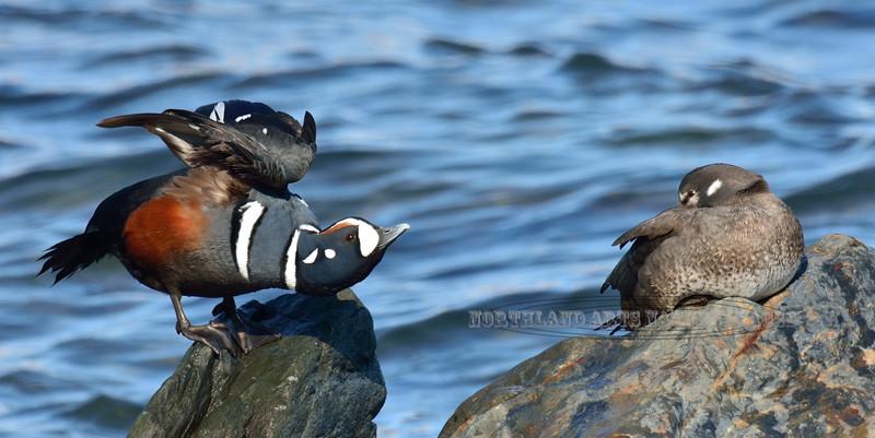 Harlequin Duck 2014.4.30#519. A breeding pair. Seward Alaska.