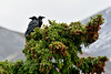 Ravens 2014.8.31#307. On a white spruce showcasing the abundant crop of cones the last several years. Mile 9.5, Denali Park Alaska.