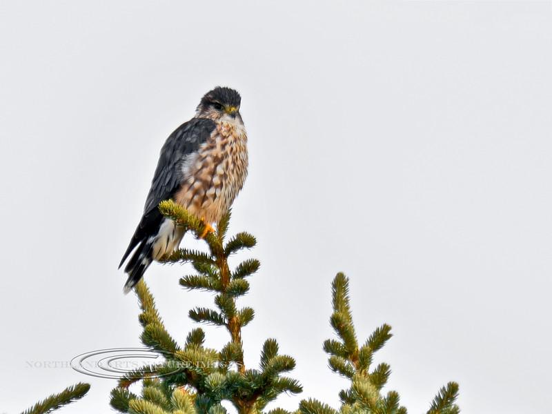 Merlin 2014.9.23#214. An adult male. Mile nine, Denali Park Alaska.