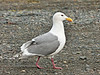 Gull, Glaucous-winged 2013.5.13#039. Homer Spit Alaska.
