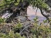 Owl, Great Horned 2008.5.17#109. Sanctuary river, Denali Park Alaska.
