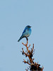 Bluebird, mountain. An uncommon visitor to Alaska's interior. near Mount Fairplay,Taylor Highway,Alaska. #713.0051.