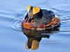 Grebe, Horned 2013.5.10#089. A handsome male in breeding color. Potter Marsh Anchorage Alaska.