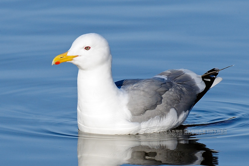 Gull, Herring 2012.4.12#004. Or a Herring/Glaucous-winged hybrid. Spenard Crossing, Anchorage Alaska.