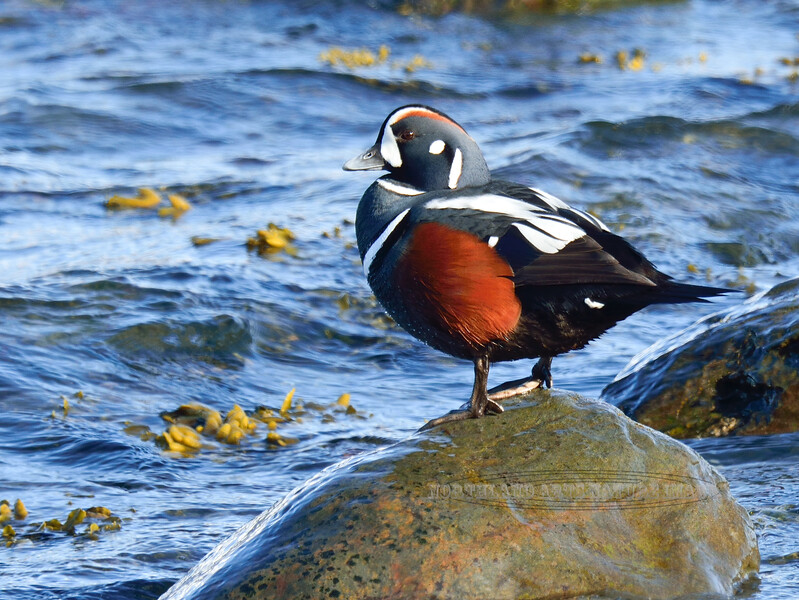 Harlequin Duck 2014.4.22#968. Seward Alaska.