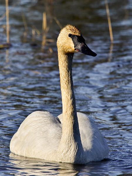 Swan, Trumpeter 2013.6.6#121. Near Susitna River bridge, Denali Highway Alaska.