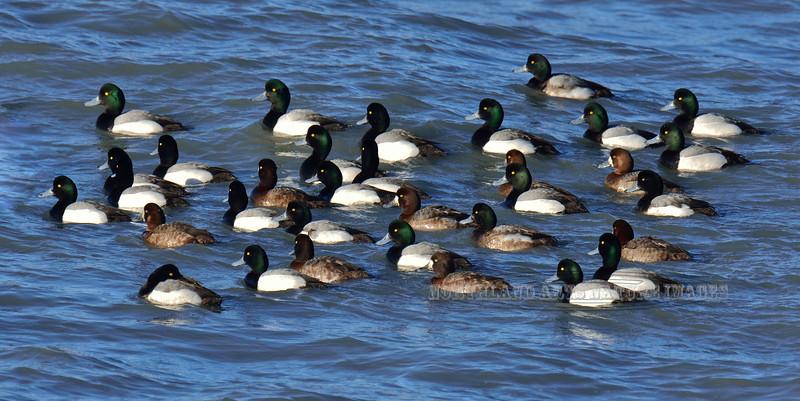 Scaup,Greater 2014.3.20#407. A raft of Scaup late winter. Katchemak Bay, Homer Alaska.