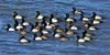 Scaup,Greater 2014.3.20#407. A raft of Scaup late winter. Katchemak Bay, Homer Alaska.