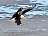 A Bald Eagle comes down for some fish scraps it spied on a beach of Cook Inlet Alaska. #514.870. 3x4 ratio format.