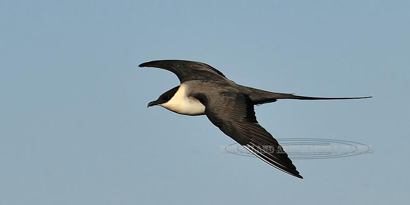 Jaeger, Long-tailed 2012.7.12#291. Near Tangle Lakes, Eastern Alaska Range, Alaska.