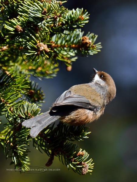 Chickadee, Boreal 2015.4.13#058. Upper Abbott Road, Anchorage hillside, Alaska.