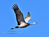 Crane, Sandhill 2013.4.25#220. A crane offers a tight shot winging it's way north. Palmer hay fields, Alaska.