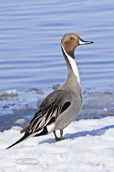 Pintail, Northern 2012.4.14#419. A handsome drake in nuptial plumage. Spenard Crossing, Anchorage Alaska.