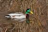 Mallard Duck 2013.5.8#110. Potter marsh, Anchorage Alaska.