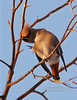 Waxwing, Bohemian 2005.11.26#0143. Highgate Circle, Anchorage Alaska.