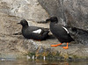 ALCIDS-Guillemot, Pigeon 2007.3.28#0235.3. Sea Life Center, Seward, Alaska.