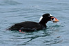 Scoter, Surf 2015.4.28#861. Seward Alaska.