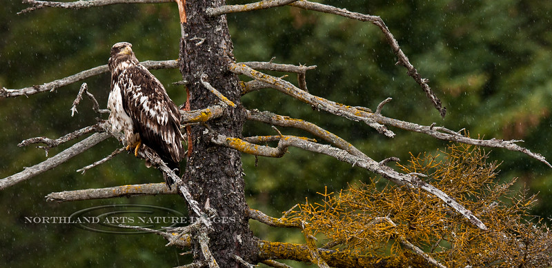 Eagle, Bald 2011.5.18#038. Seward Alaska.