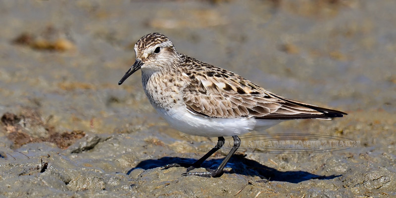 A Baird's Sandpiper. A rare visiter in Cook Inlet near Anchorage Alaska. #519.781. 1x2 ratio format.