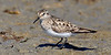 Sandpiper,Baird's. A rare visiter in Cook Inlet near Anchorage Alaska. #519.781. 1x2 ratio format.