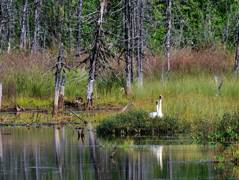 Swan, Trumpeter 2008.8.22#014. A pair establishing a new nest in a swampy area created by beavers. Near mile 100, Parks Highway Alaska.