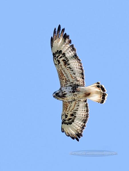 Hawk, Rough-legged 2012.7.11#021. Coastal plain of the North Slope Alaska.